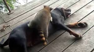Coon Dog Finds Unlikely Playmate – A Raccoon!
