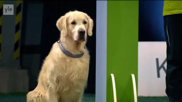 Watch As This Adorable Golden Retriever Totally Fails An Agility Contest!