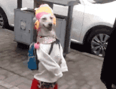 Dog Casually Walks Down The Street Dressed As A Pretty Lady, And She Is Guaranteed To Make You Laugh!