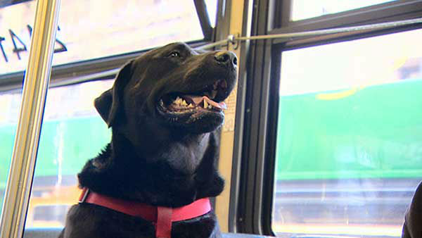 This Awesome Dog Rides The Bus To The Park Everyday And Brings Smiles To Everyone's Faces