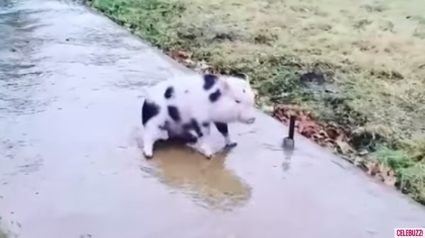 Phinny The Piglet Slips And Slides Along The Sidewalk And It Is Ridiculously Adorable