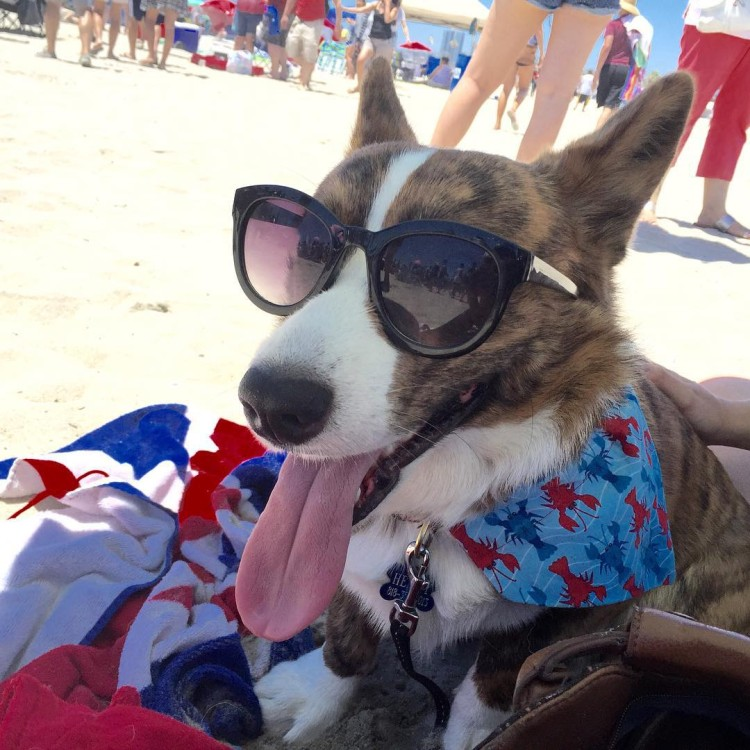 Can We Talk About A Cuteness Overload? 800 Dogs Show Up For SoCal Corgi Beach Day!