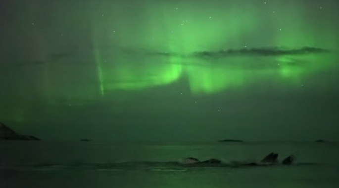 Photographer Captures Amazing Footage Of Humpback Whale Playing Under The Northern Lights!