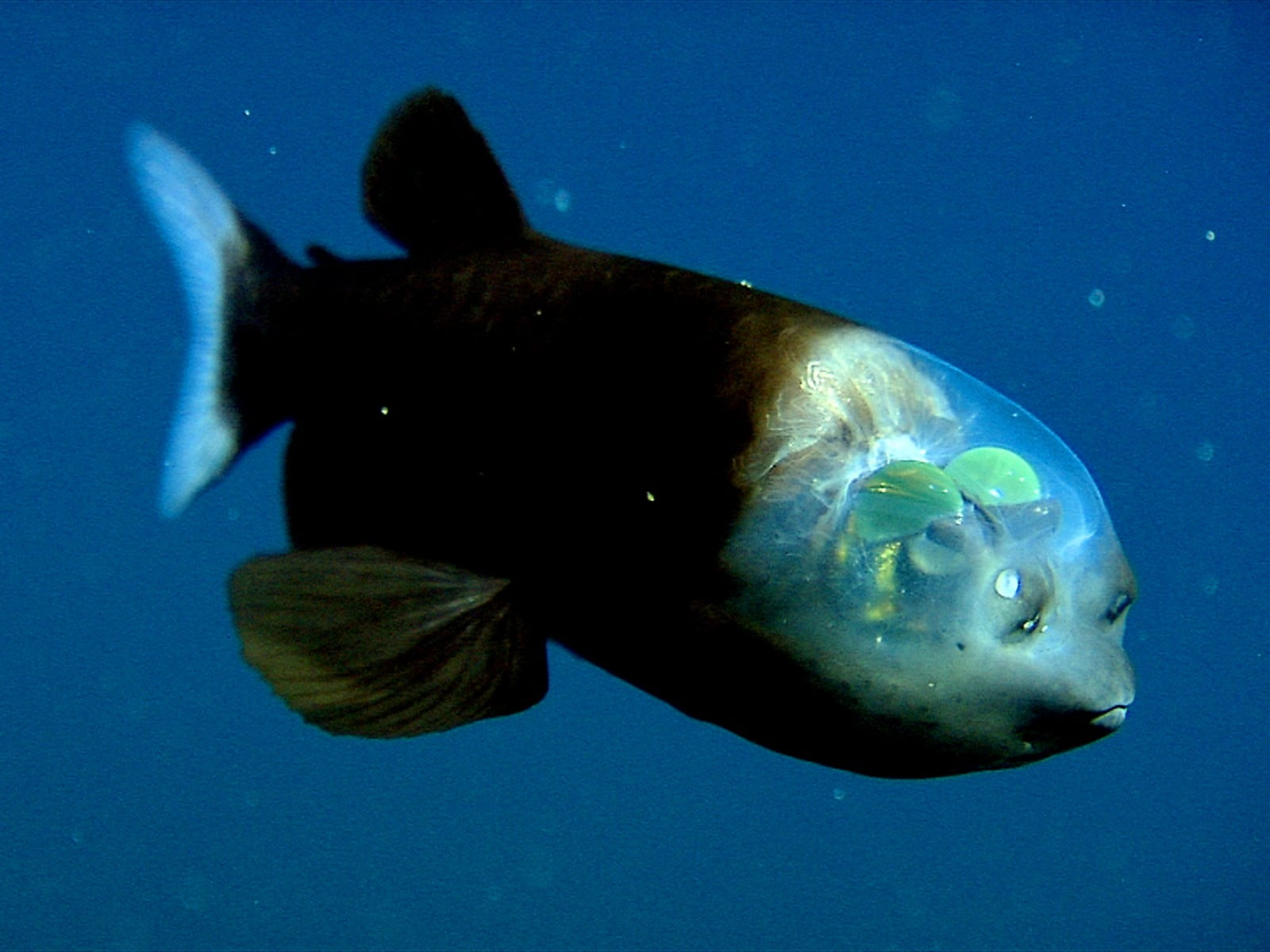 Scientists Solve Mystery of Deep-Sea Fish With Tubular Eyes and Transparent Head 13