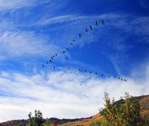 geese4