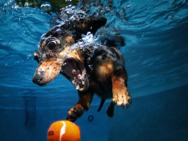 A diving dachshund pursues a sinking tennis ball underwater