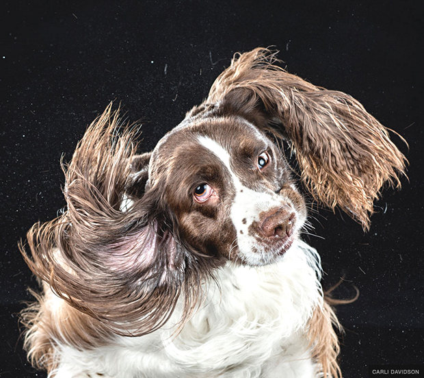 dogs-shaking-heads-pictures-carli-davidoson-9