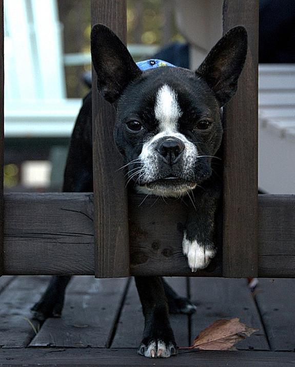 funny-sad-dogs-stuck-6