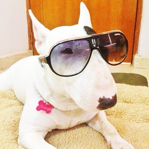 chunky terrier