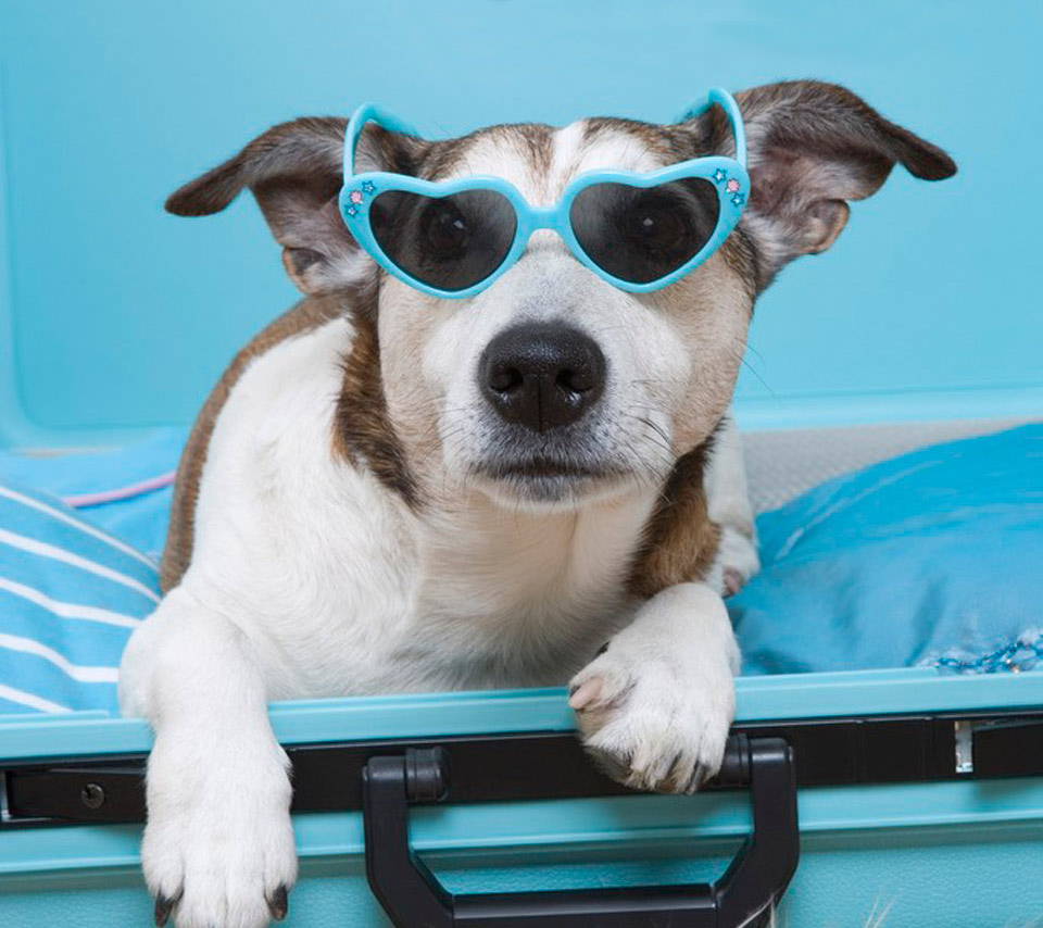 jack russell with glasses