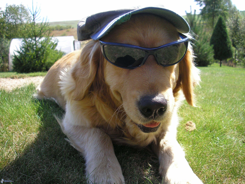 retriever in sunglasses