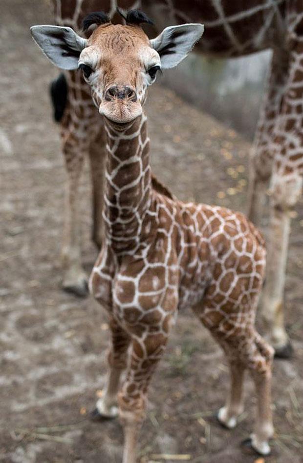 photogenic-giraffe