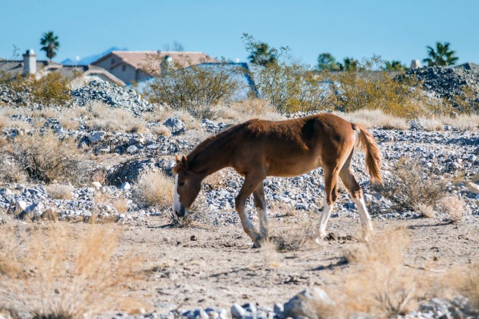 Wild Desert Horses