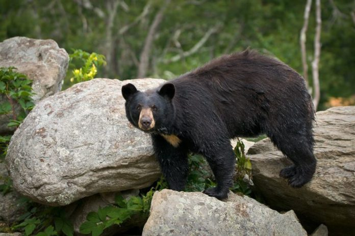 Bear Killed