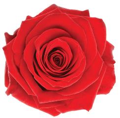 Single bud rose small