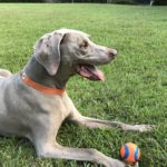 Dog laying in grass with ball