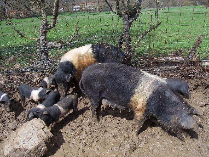 Het varkensras Cinta Senese