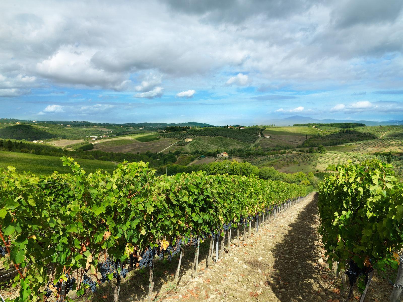 Wijngaard in Ruffina