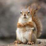 Neville Squirrel