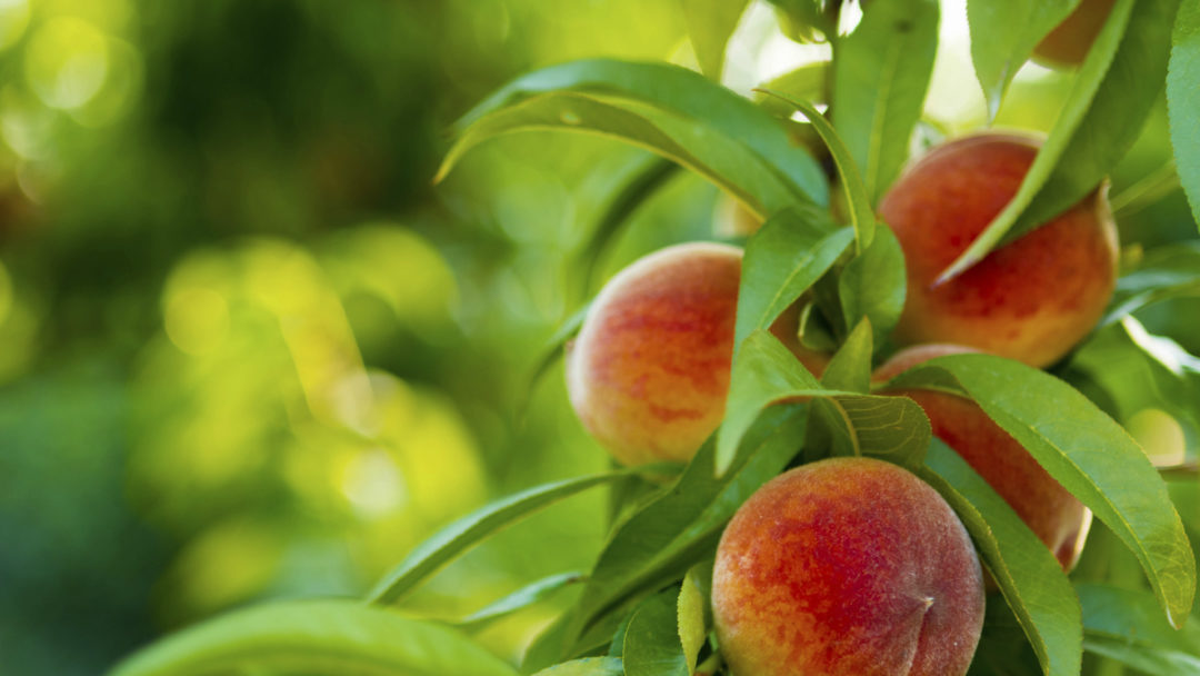 portrait shot of georgia peaches with a blurred leafy background