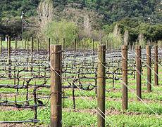Vineyard In The Spring