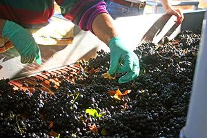 Getting Grapes Ready For The Grape Destemmer