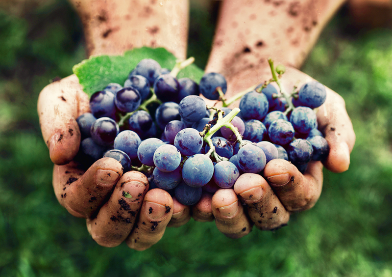 Hands Full Of Wine Grapes