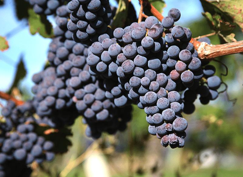 Melot Grape For Making Wine