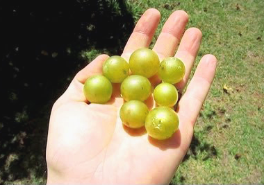 Scuppernong grapes for making wine.
