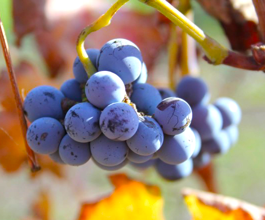 Wild Yeast On Grapes
