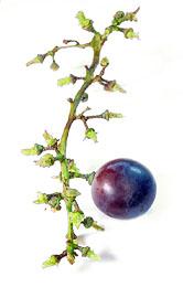 Wine Tannin From Grape Stems