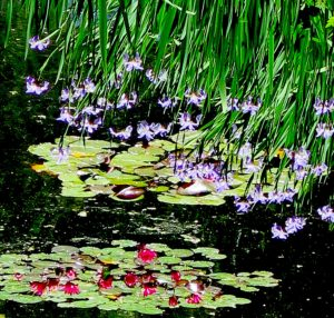 The gorgeous lily pond at Heritage Museum & Gardens in Sandwich, Cape Cod © 2016 Karen Rubin/news-photos-features.com
