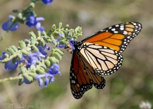 Read more about the article Why Are Monarch Butterflies Disappearing