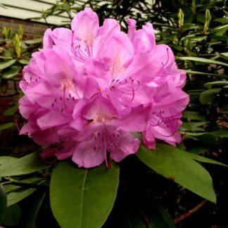 Roseum Elegans Bloom