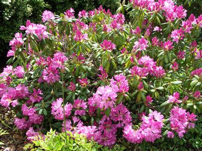 Roseum Elegans plant
