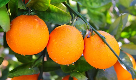 bitter-orange