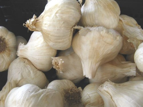 The Toxic Garlic is Among Us – Here is How to Spot It