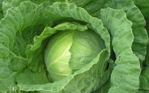 Benefits of Cabbage Leaves
