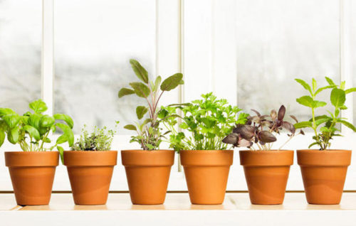 Herbs you Can Grow Indoors
