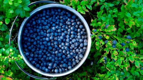 Unlimited Amount of Blueberries