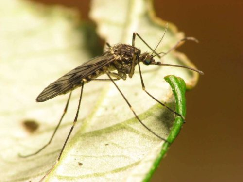 Plants Will Repel Mosquitoes