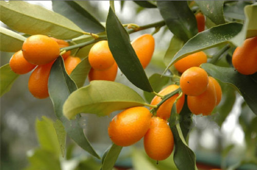 Try this Small Fruit! It is a Real Treasure!