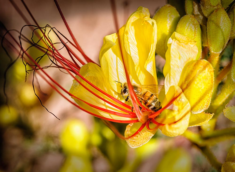 Beel in flower