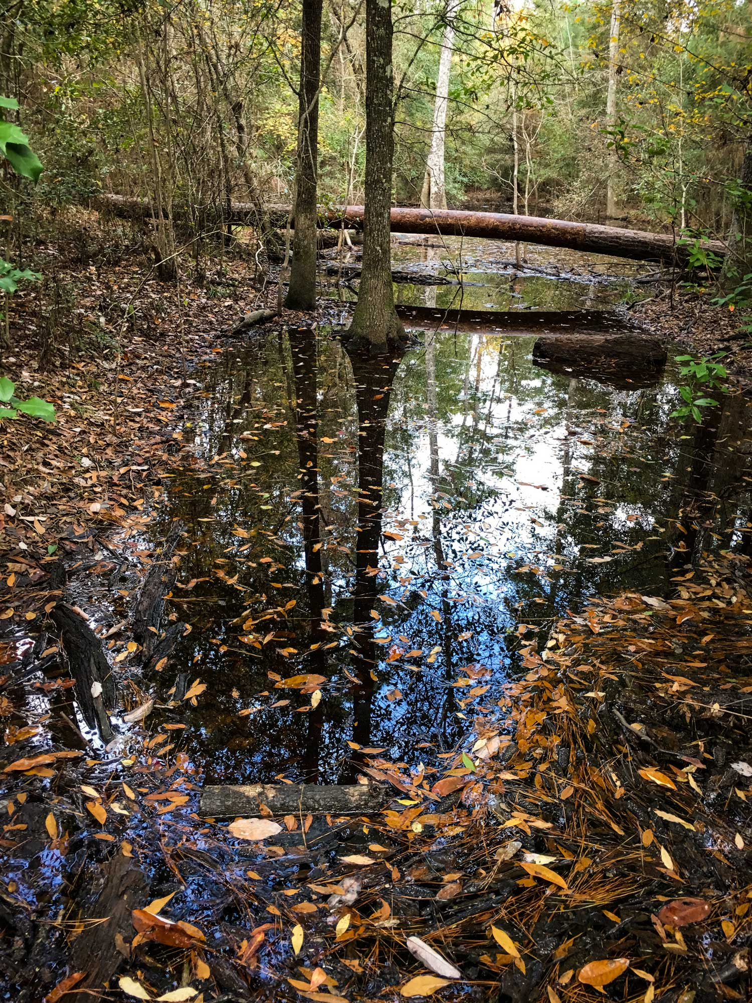 Slough - swamp covered in leaves