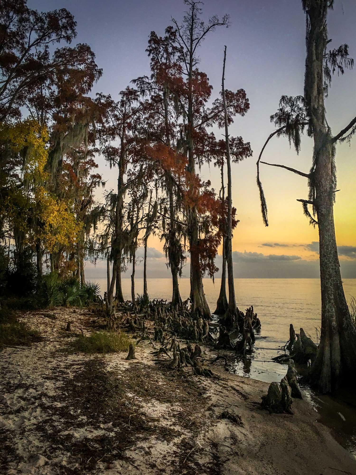 Bald cypress at lake