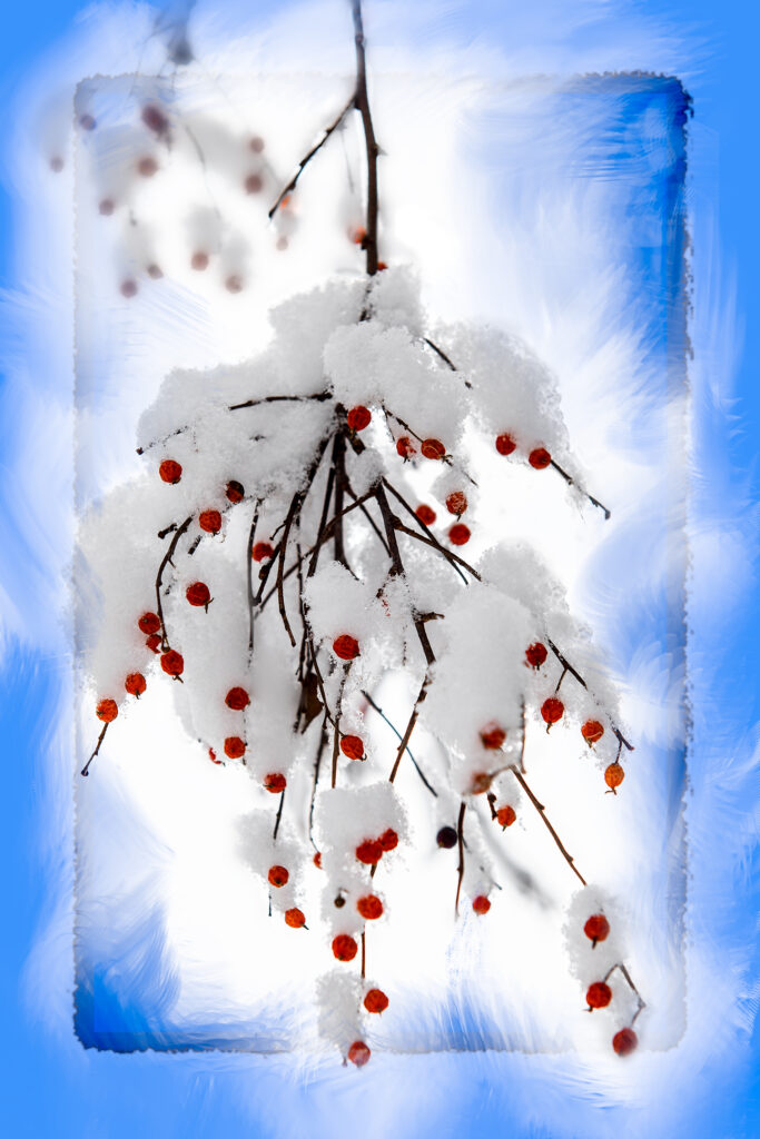 Small red berries from the Netleaf Hackberry tree covered in snow