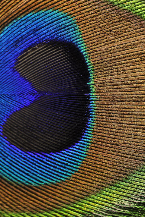 Dr. Vanessa Varriano's peacock feather
