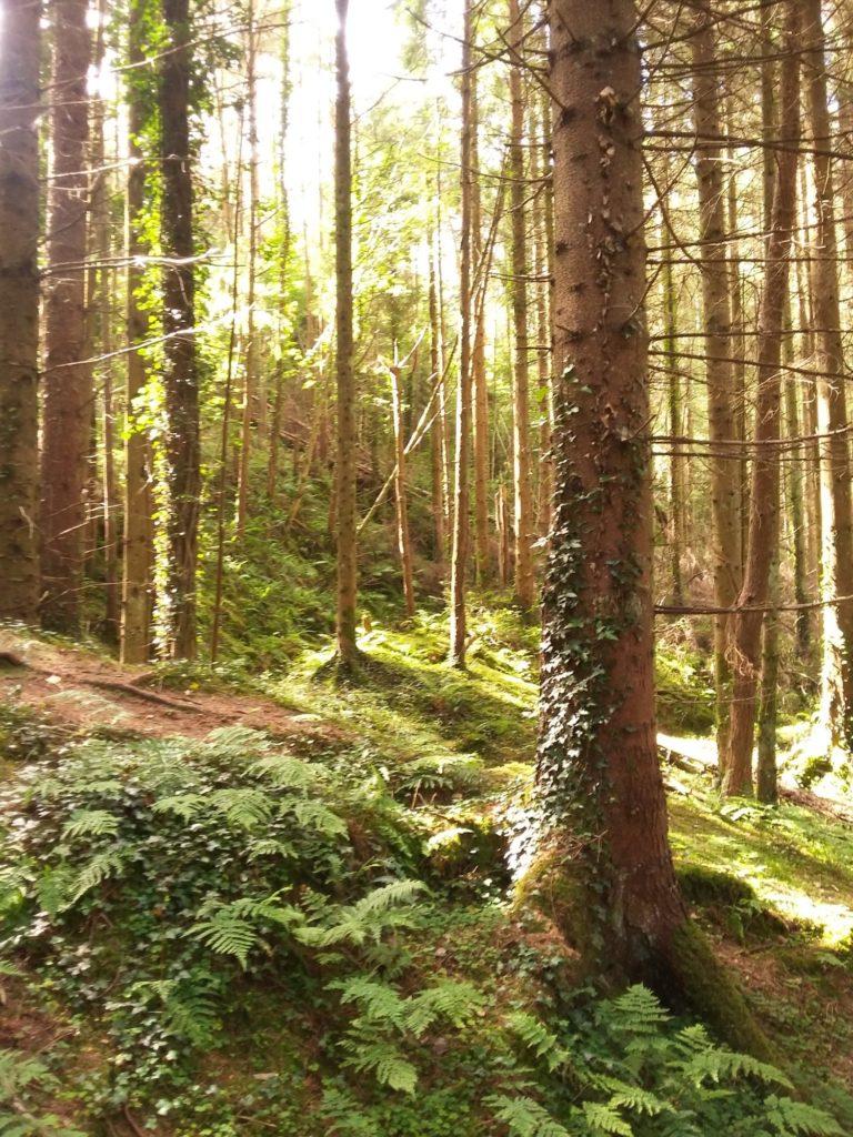 woods in Slieve Blooms