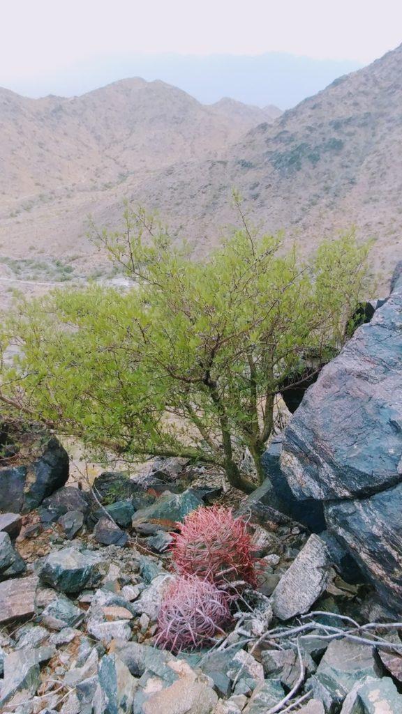 Elephant tree on South Mountain
