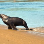 Sea Lion coming out of the water